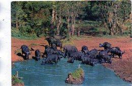 "BUFFALO AT ""TREETOPS"" - NYERI - KENIA - Kenia"