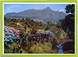 GEORGE. A Beautiful Show Of Hydrangeas In The Van Riebeek Gardens.... - Sud Africa