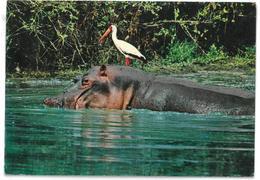 Kenya Nairobi Half Submerged Hippo And Yellow Billed Stork Non Viaggiata - Kenia