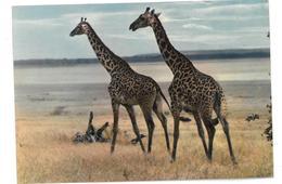 Kenya Nairobi Giraffes Non Viaggiata - Kenia