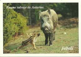 POSTAL JABALI - Cerdos