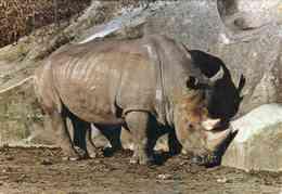 RHINOCEROS DE BURCHELL - Rhinocéros