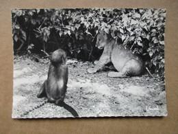 Une Peur De Lion - L'Afrique Typique - Lions