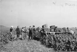21 - COTE D' OR / Morey - 216166 - Véritable Photo Format 13 X 8 Cm - 1955 - Scènes De Vendanges - Altri Comuni