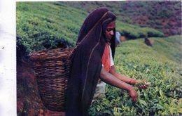 SRI LANKA - Tea Plucker - Tee-pflückerin - Une Cuilleuse Du Thé - Sri Lanka (Ceylon)