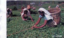 SRI LANKA - Tea Pluckers. Nuwara Eliya - Sri Lanka (Ceylon)