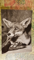 Prague - Praha Zoo. Little Fox . 1960s Vulpes Vulpes - Animaux & Faune