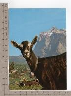 Bergziege / Chèvre De Montagne / Mountain Goat / Capra Di Montagna - Animaux & Faune