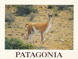 PATAGONIA. SERIE I. GUANACO. LAMA GUANICOE, PATAGONIA. ZAGIER & URRUTY. F PONTORIERO FOTO.-TBE-BLEUP - Argentina