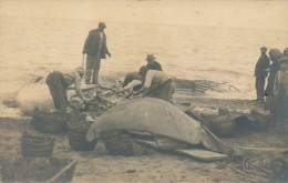 H115 - Dépecage D'une Baleine Sur Une Plage - Carte Photo Alger - Tierwelt & Fauna