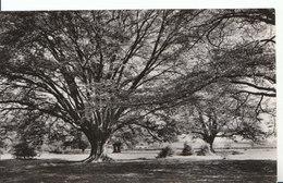 Essex Postcard - Hatfield Forest - A Grand Hornbeam - Ref ND934 - Inghilterra
