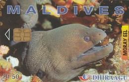 Maldives - Moray Eel - 256MLDGIA - Maldives