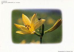 1 AK Blumen In Japan - Hemerocallis - Taglilien * - Other