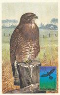 D33249 CARTE MAXIMUM CARD FD 1974 NETHERLANDS - BIRD OF PREY BUTEO CP ORIGINAL - Eagles & Birds Of Prey
