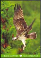 Belarus 2011 Fauna Of Osprey - Belarus