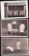 3 X CARTE PHOTO ANVERS - BOUCHERIE - VARKEN PORC VACHE EXPO DIEREN ANIMAL AGRICULTURE 1929 ANTWERPEN - Antwerpen