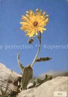 72526093 Blumen Habichtskraut Hieracium Morisianum Pflanzen - Cartes Postales