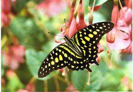 Thème - Animaux - Papillon -Graphium Agamemnon (Malaisie)- Hunawihr (Alsace) - Farfalle