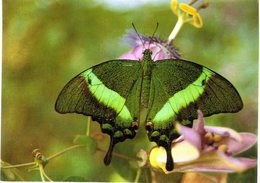 Thème - Animaux - Papillon -Papilio Palinurus- Hunawihr (Alsace) - Farfalle