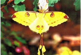 Thème - Animaux - Papillon -Azgema Mitrei (Madagascar)- Hunawihr (Alsace) - Farfalle