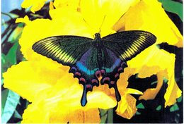 Thème - Animaux - Papillon - Papilio Bianor (Japon)- Hunawihr (Alsace) - Farfalle