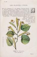 TILLEUL - Plantes Médicinales