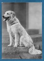 CANI DOG LULA ESEMPLARE RAZZA MAREMMANO 1952 - Hunde