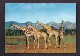 CPSM AFRIQUE - BASUTOLAND - LESOTHO - Girafes - TB PLAN ANIMAUX + TB Oblitération Timbre Verso Publicité PLASMARINE - Postcards