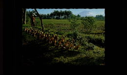 INDONESIE - BALI - Canards - Ducks - Indonésie