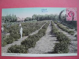 Tea Plantation, Natal.   South Africa. - Afrique Du Sud