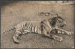 Tiger - Panthera Tigris, C.1910s - RP Postcard - Tigers