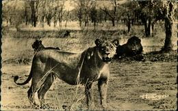 N°638 RRR LR 10  FAUNE AFRICAINE LION ET LIONNES DANS LA BROUSSE - Lions