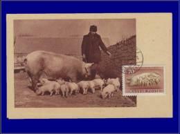 Hongrie, Carte Maximum, Yvert 112 PA, Truie Et Porecelets - Maximum Cards & Covers