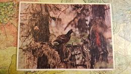 Belarus. BELOVEZHSKAYA PUSHA. Hazel Grouse. Old USSR Postcard. 1950s  - Special Stationery Emblem - Belarus