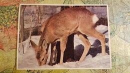 Belarus. BELOVEZHSKAYA PUSHA. Roe. Old USSR Postcard. 1950s  - Special Stationery Emblem - Belarus