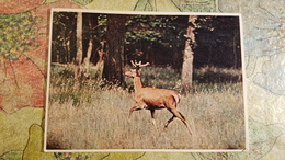 Belarus. BELOVEZHSKAYA PUSHA. European Deer. Old USSR Postcard. 1950s  - Special Stationery Emblem - Belarus