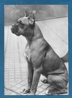 CANI DOGS EVI DI VILLA TERGESE 1955 - Hunde