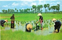Cultivation Of The Rice In Thailand - Making The Tender Rice Plante Into Sheaves For Replanting - Small Format - Tailandia