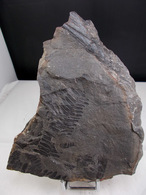 PECOPTERIS ET ROSEAU ? (RV) 15, X 10, Cm BASSIN CARBONIFERE DE GAGNAIRE - Minerals