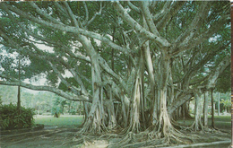 Banyan Tree Florida USA - Ficus Fig Tree - Nature - By Russell News Saratosa - 2 Scans - Trees