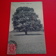 MOMBASA MANGO TREE - Kenya