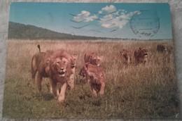 Animali - Leoni - East African Wild Life - Lion Pride - Leoni