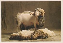 18 / 4 / 489  -MÉRINOS  DE  RAMBOUILLET  - Appartenant à La Bergerie -photo Arthus - Bertrand- CPM - Animals