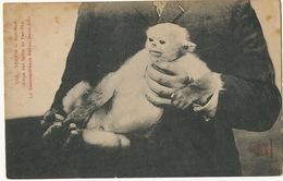 Monkey Singe Semnopitheque Kahau Male à Nah Nam Tonkin Forets Du Yen Thé Edition Dieulefils - Singes