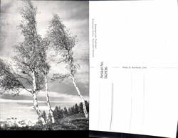 562936,Birken Birke Bäume Baum Schweizerische Pfadfinderinnen - Botanik