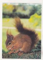 Germany Old Uncirculated Postcard - Animals - Squirrel - Stieren