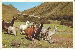 Peru Postcard - Llamas In The Peruvian Andes - Peru