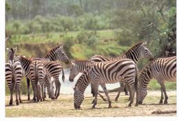 Kenya - Zébres  / Zebras - Zèbres
