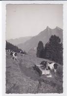 Gruyères - Mont Currat. Vaches Au Pâturage - FR Fribourg