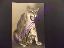 Lionne Et Son Petit  Parc Zooligique Du Bois De Vincennes Comité National De L Enfance - Lions